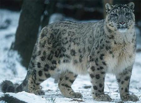 Snow Leopard Bandli Wildlife Sanctuary